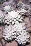 Asteraceae - Pseudognaphalium sandwicensium var. molokaiense