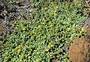 Asteraceae - Melanthera integrifolia