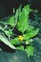 Asteraceae - Melanthera remyi