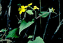 Asteraceae - Melanthera subcordata