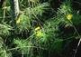 Asteraceae - Melanthera tenuifolia