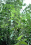 Asteraceae - Remya kauaiensis