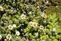Asteraceae - Tetramolopium humile subsp. haleakalae