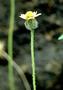 Asteraceae - Tridax procumbens