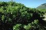 Boraginaceae - Heliotropium foertherianum