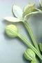 Campanulaceae - Brighamia rockii