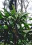 Campanulaceae - Clermontia arborescens subsp. waihiae