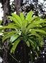 Campanulaceae - Clermontia hawaiiensis