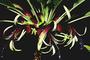 Campanulaceae - Clermontia pallida