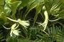 Campanulaceae - Clermontia persicifolia