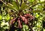 Campanulaceae - Clermontia tuberculata