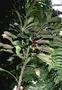 Campanulaceae - Clermontia calophylla