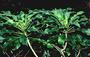 Campanulaceae - Cyanea angustifolia