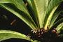 Campanulaceae - Cyanea crispa