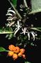 Campanulaceae - Cyanea floribunda