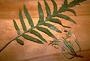 Campanulaceae - Cyanea grimesiana subsp. obatae