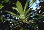 Campanulaceae - Cyanea hirtella