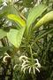 Campanulaceae - Cyanea humboldtiana