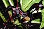 Campanulaceae - Cyanea longiflora