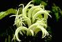 Campanulaceae - Cyanea scabra