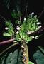 Campanulaceae - Cyanea solenocalyx