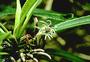 Campanulaceae - Cyanea calycina
