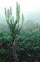 Campanulaceae - Lobelia villosa