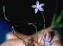 Campanulaceae - Wahlenbergia gracilis
