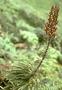 Campanulaceae - Trematolobelia singularis