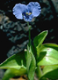 Commelinaceae - Commelina diffusa