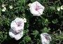 Convolvulaceae - Ipomoea cairica