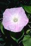 Convolvulaceae - Ipomoea indica