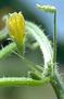 Cucurbitaceae - Cucumis dipsaceus