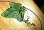 Cucurbitaceae - Sicyos lanceoloideus