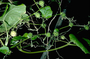 Cucurbitaceae - Sicyos pachycarpus