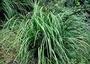 Cyperaceae - Gahnia vitiensis subsp. kauaiensis