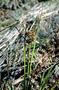 Cyperaceae - Carex wahuensis subsp. rubiginosa
