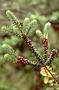 Ericaceae - Leptecophylla tameiameiae