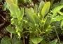 Ericaceae - Vaccinium calycinum