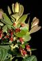 Ericaceae - Vaccinium dentatum