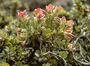 Ericaceae - Vaccinium reticulatum