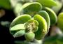 Euphorbiaceae - Euphorbia degeneri