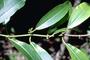 Euphorbiaceae - Euphorbia halemanui