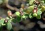 Euphorbiaceae - Euphorbia skottsbergii var. vaccinioides