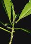 Euphorbiaceae - Claoxylon sandwicense