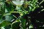 Euphorbiaceae - Jatropha curcas 'Tapestry'