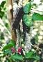 Fabaceae - Canavalia galeata