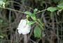 Fabaceae - Clitoria ternatea