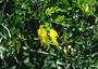 Fabaceae - Sophora chrysophylla