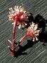 Salicaceae - Xylosma hawaiiense
